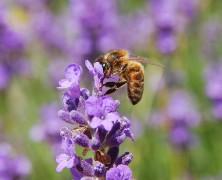 Faites connaissance avec le miel de lavande