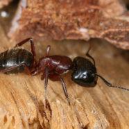 Comment éliminer les fourmis charpentières ?